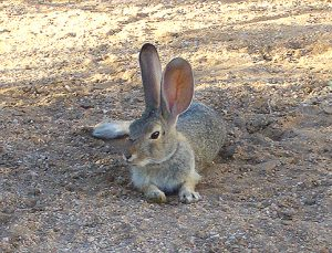 California_High_Desert_Cottontail_Resting